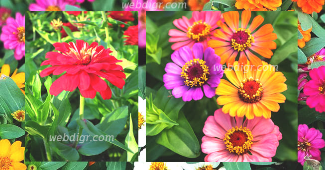 3 - ต้นบานชื่น ต้นไม้ดอกที่มีสีสันสวยงาม สามารถปลูกได้บริเวณบ้าน