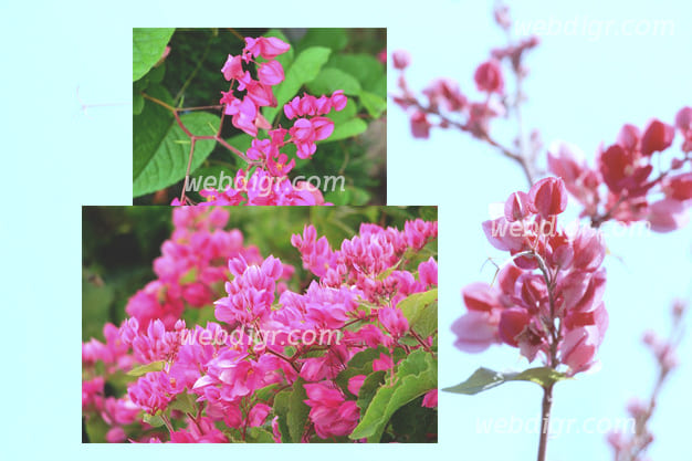 3 - ต้นพวงชมพู พันธุ์ไม้ประดับ ที่มีความน่ารัก รวมไปถึงยังมีสีสันสดใส