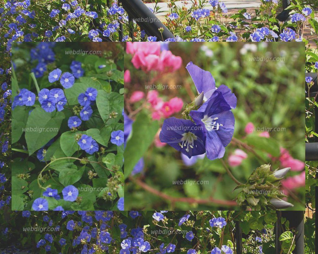 ต้นพวงแส 1024x818 - ต้นพวงแส มีลักษณะเป็นพันธุ์ไม้ขนาดเล็ก มีความสวยงามทั้งใบ และดอก