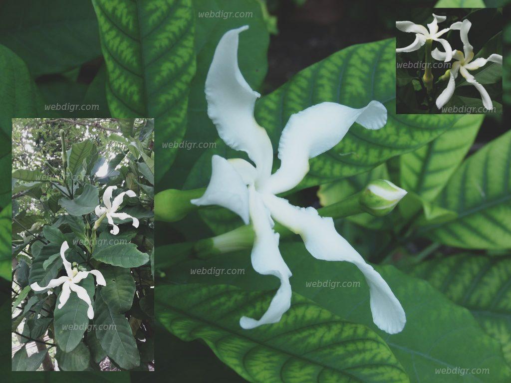 3 1024x768 - ต้นพุดเศรษฐีสยาม พันธุ์ไม้ดอกที่มีความสวยงามเป็นไม้พุ่มที่นิยมปลูกเป็นริมรั้ว