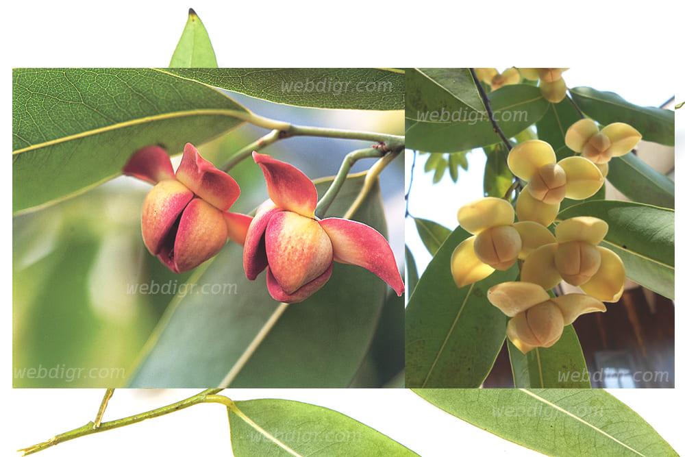 3 - ต้นลำดวน พันธุ์ไม้เพาะปลูกได้ง่าย และเป็นพันธุ์ไม้ที่เลี้ยง ดูแลได้ง่าย