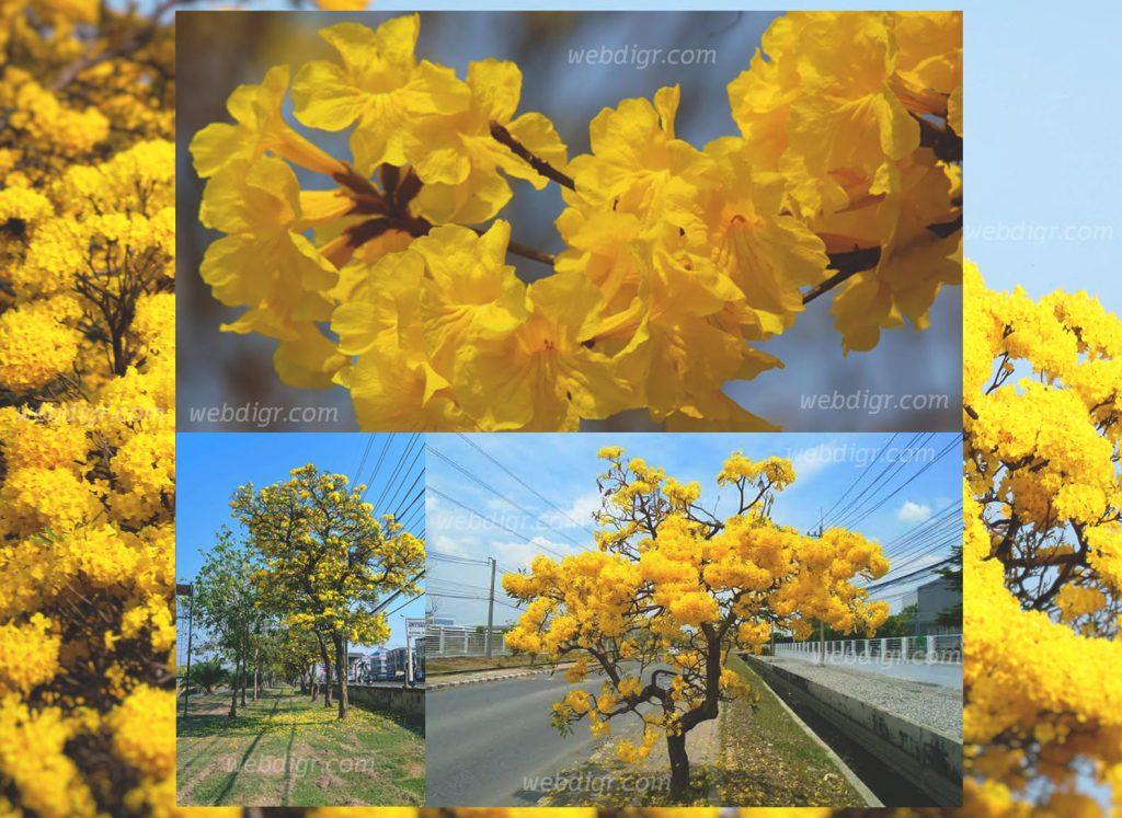 ต้นเหลืองปรีดียาธร3 1024x747 - ต้นเหลืองปรีดียาธร ต้นไม้ที่จะเพิ่มสีสันให้กับบรรยากาศภายในสวน พันธุ์ไม้มงคล