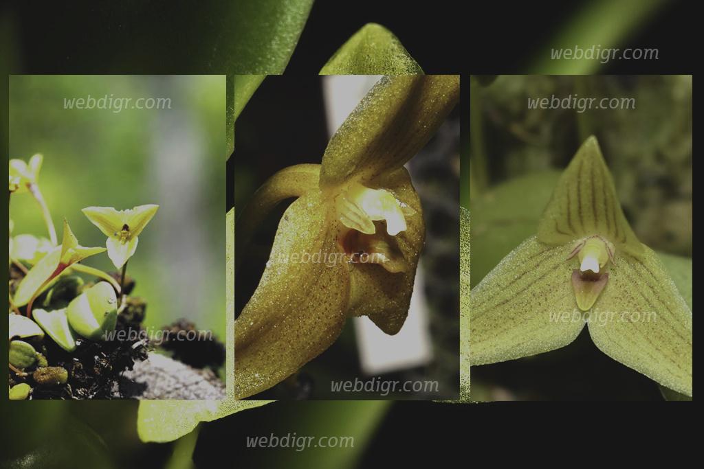 ต้นเอื้องไตรดอกสีนวล2 - ต้นเอื้องไตรดอกสีนวล ต้นไม้ที่เป็นประเภทเดียวกับกล้วยไม้อิงอาศัยมีดอกสวยงาม