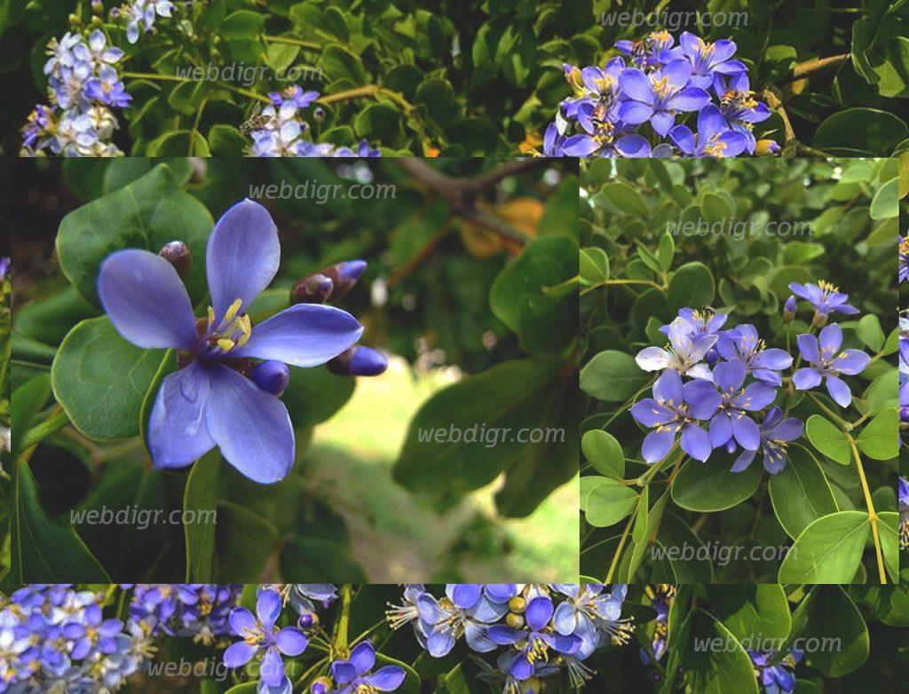 ต้นแก้วเจ้าจอม 1024x782 - ต้นแก้วเจ้าจอม ต้นไม้พุ่ม ดอกมีสีสันสะดุดตาเหมาะแก่การตกแต่งสวน
