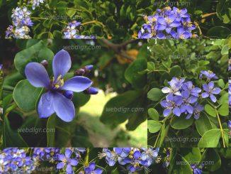 326x245 - ต้นแก้วเจ้าจอม ต้นไม้พุ่ม ดอกมีสีสันสะดุดตาเหมาะแก่การตกแต่งสวน