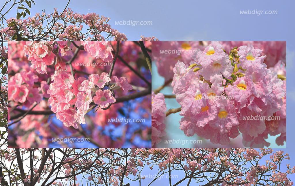 ต้นชมพูพันธุ์ทิพย์3 - ต้นชมพูพันธุ์ทิพย์ พันธุ์ไม้ใหญ่ที่จะช่วยให้ร่มเงา เลี้ยงง่าย โตไว