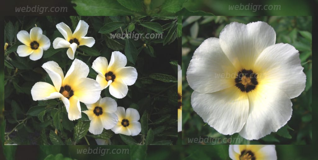ต้นบานเช้าสีนวล1 1024x517 - ต้นบานเช้าสีนวล พันธุ์ไม้ดอกไม้ประดับ รูปทรงไม้พุ่มที่มีอายุยืนนาน