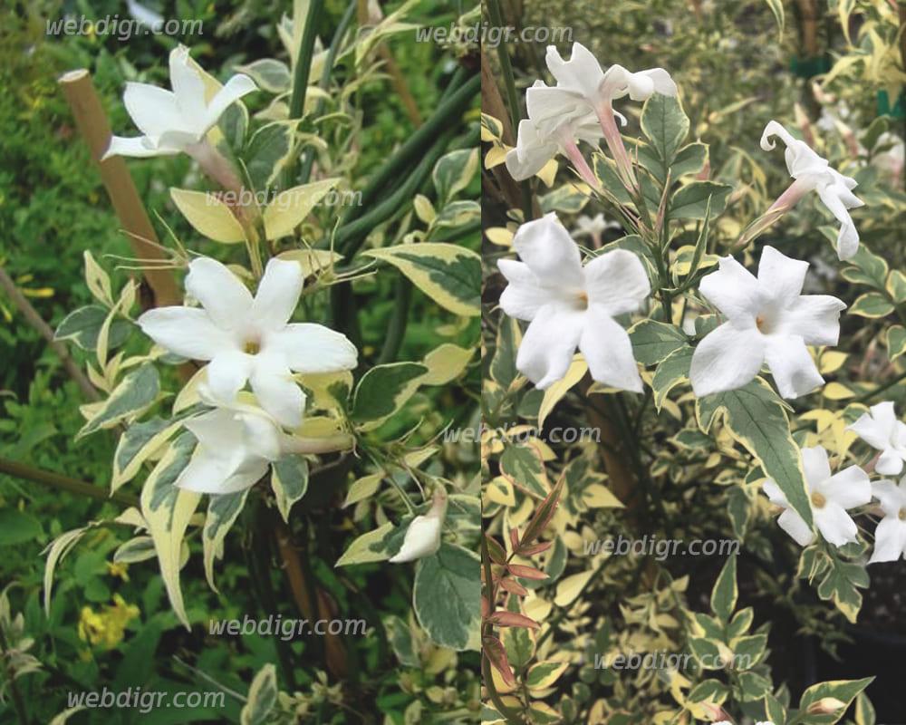 ต้นมะลุลีใบด่าง3 - ต้นมะลุลีใบด่าง ต้นไม้ดอกไม้ประดับที่มาในรูปแบบเป็นไม้พุ่ม มีอายุยืนนาน