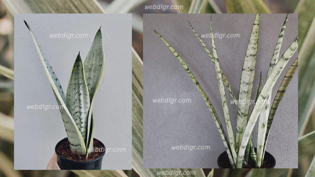 ต้นลิ้นมังกรพิงกุยคูลา3 1024x576 - ต้นลิ้นมังกรพิงกุยคูลา พันธุ์ไม้ประดับ ไม้อวบน้ำทรงพุ่ม ได้รับความนิยมในการปลูก