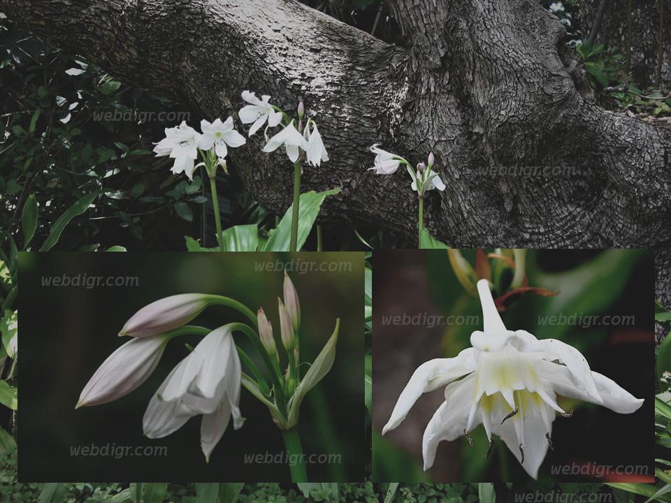 ต้นว่านมหาบัว1 - ต้นว่านมหาบัว ต้นไม้ประดับ ที่มีความสวยงาม รวมถึงสามารถออกดอกได้
