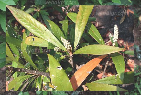 ต้นเปล้าน้อย2 - ต้นเปล้าน้อย พันธุ์ไม้ที่พบได้ทั่วไปในประเทศไทยที่เจริญเติบโตได้เป็นอย่างดี
