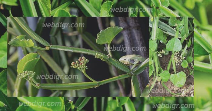 เพชรสังฆาต1 - ต้นเพชรสังฆาต พันธุ์ไม้รักษาโรคริดสีดวงทวารหนักได้ มีคุณประโยชน์มากมาย