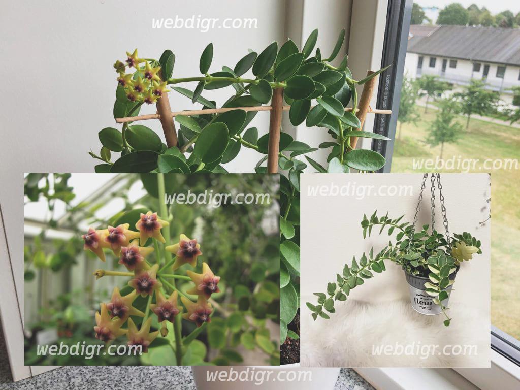 โฮย่าคูมิงเกียนา1 - โฮย่าคูมิงเกียนา ไม้เลื้อยนิยมปลูกในบ้านด้วยความสวยงามของดอก