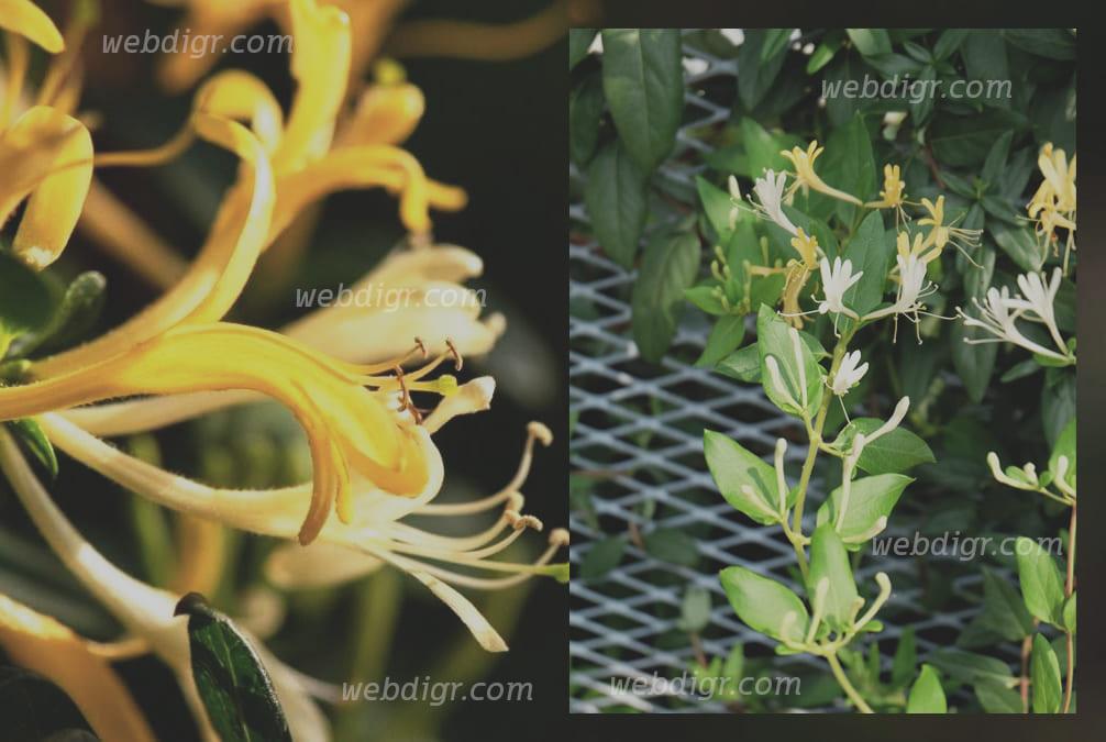 725FA0E5 96D7 4F47 B51A D891B4566FD5 - ต้นสายน้ำผึ้งจีน พันธุ์ไม้ขนาดเล็กที่มีความโดดเด่น และมีความสวยงาม