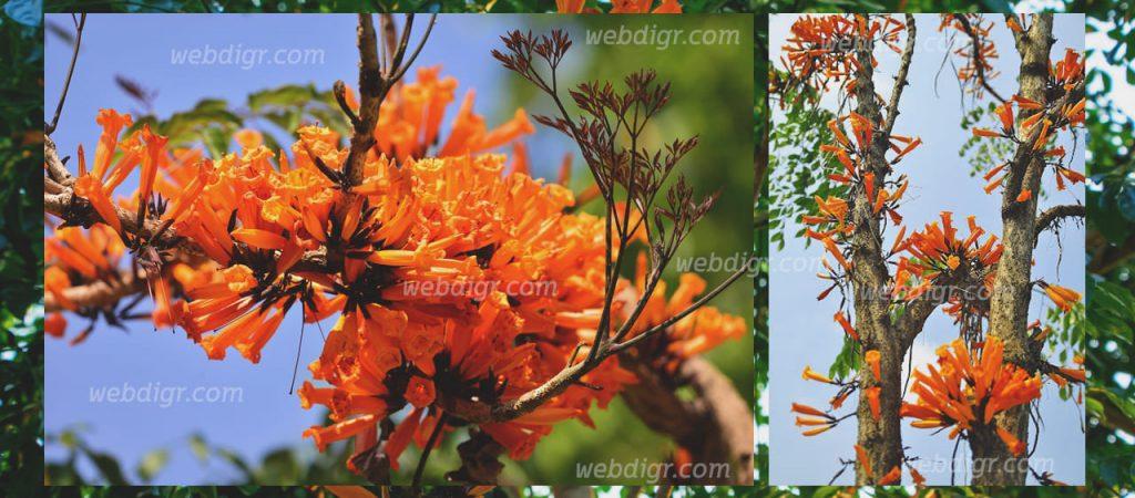 ต้นกาสะลองคำ3 1024x450 - ต้นกาสะลองคำ พันธุ์ไม้ที่มีความสวยงามร สามารถให้ดอกคล้ายระฆัง