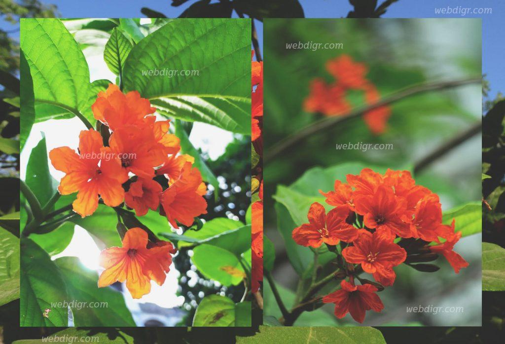 ต้นคอร์เดีย4 1 1024x698 - ต้นคอร์เดีย ไม้ดอกไม้ประดับที่นิยมปลูกภายในสวน เพื่อเพิ่มสีสันความสดใส