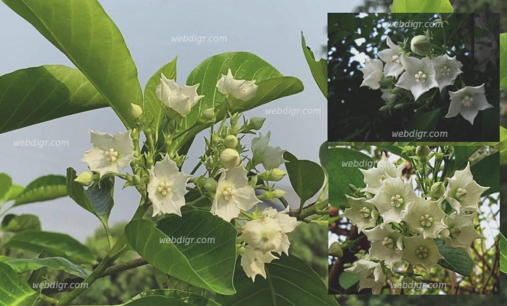 ต้นชมนาด4 1024x619 - ต้นชมนาด พันธุ์ไม้ดอกไม้ประดับที่มีความสวยงาม โดดเด่นความหอมของดอก