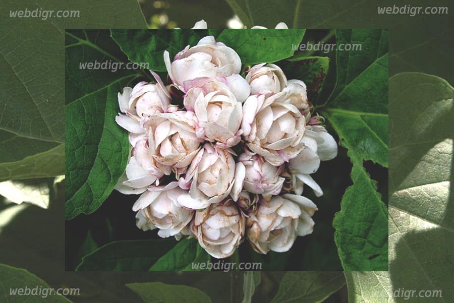 ต้นนางแย้ม3 - ต้นนางแย้ม พันธุ์ไม้พุ่มที่มีความสวยงามโดดเด่น ลักษณะดอกไม่เหมือนต้นอื่นๆ