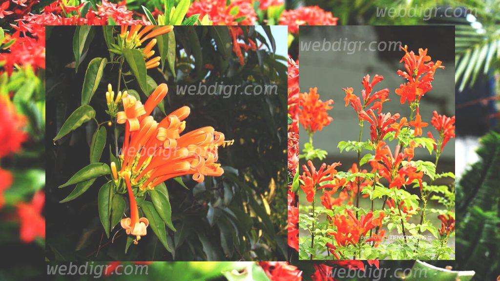 ต้นพวงแสด1 1024x576 - ต้นพวงแสด พันธุ์ไม้เลื้อยที่มีดอกที่มีความสวย ได้รับความนิยมในการนำไปปลูก
