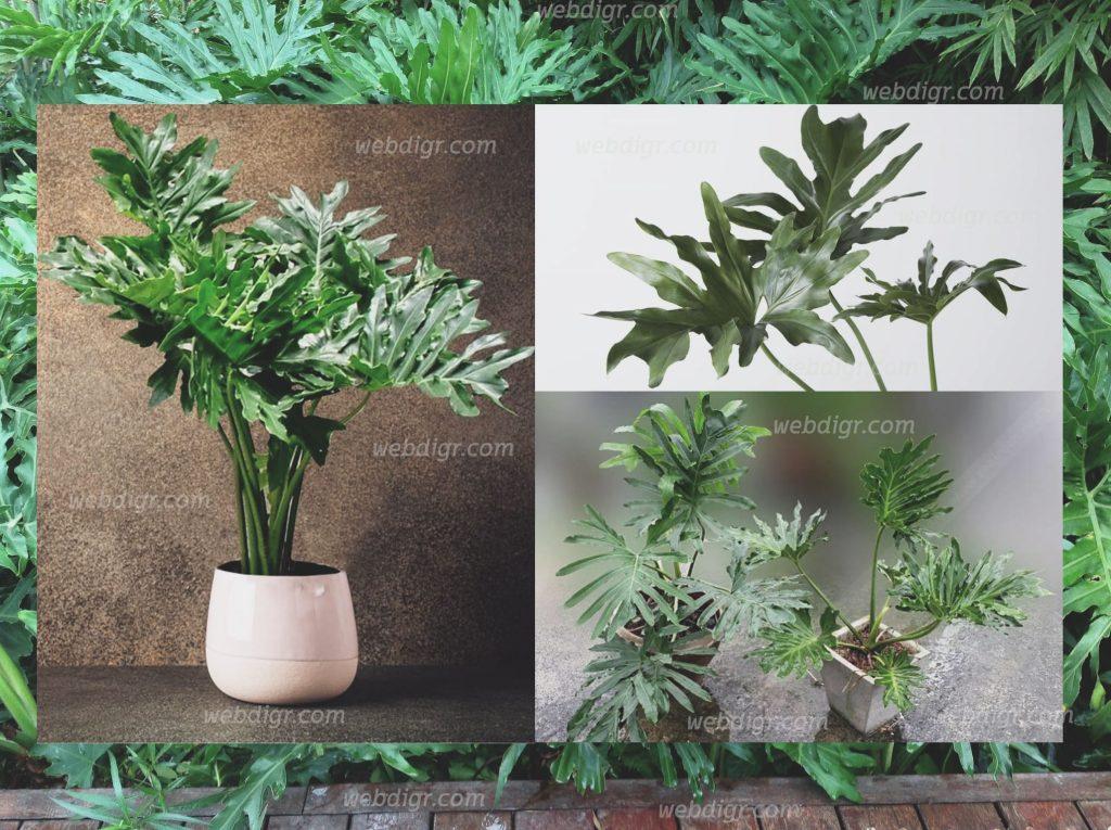 ต้นฟิโลใบมะละกอ5 1024x765 - ต้นฟิโลใบมะละกอ ไม้ประดับที่นิยมนำไปปลูกประดับอาคาร หรือประดับสวน