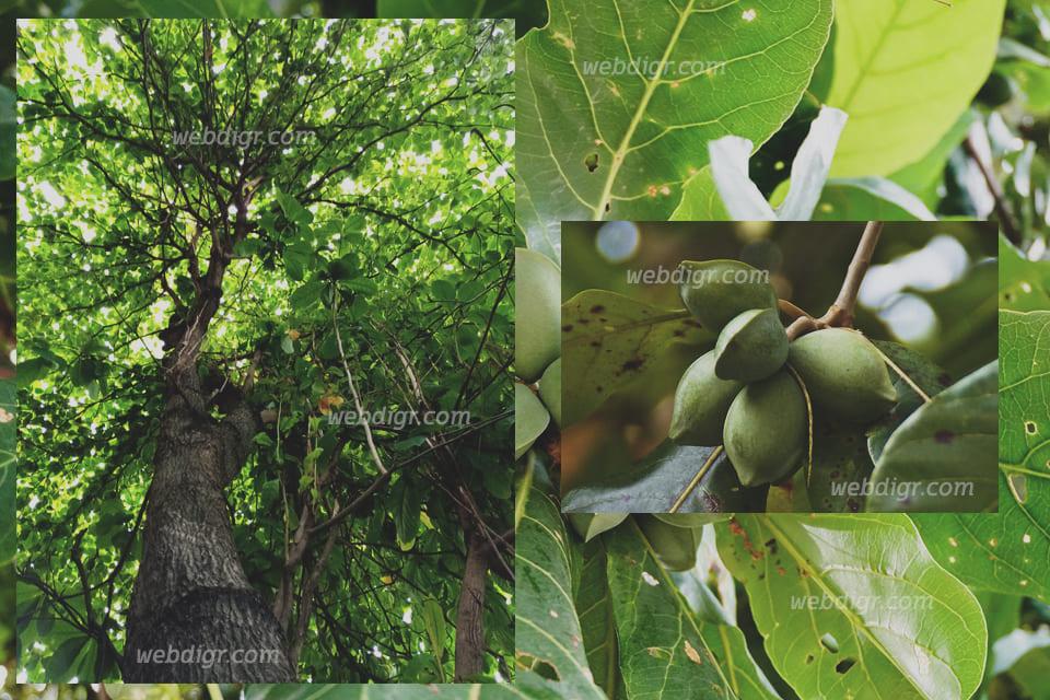 ต้นหูกวาง2 - ต้นหูกวาง พันธุ์ไม้ขนาดใหญ่กว้างขวาง มีการแผ่กิ่งก้านสาขามากมาย