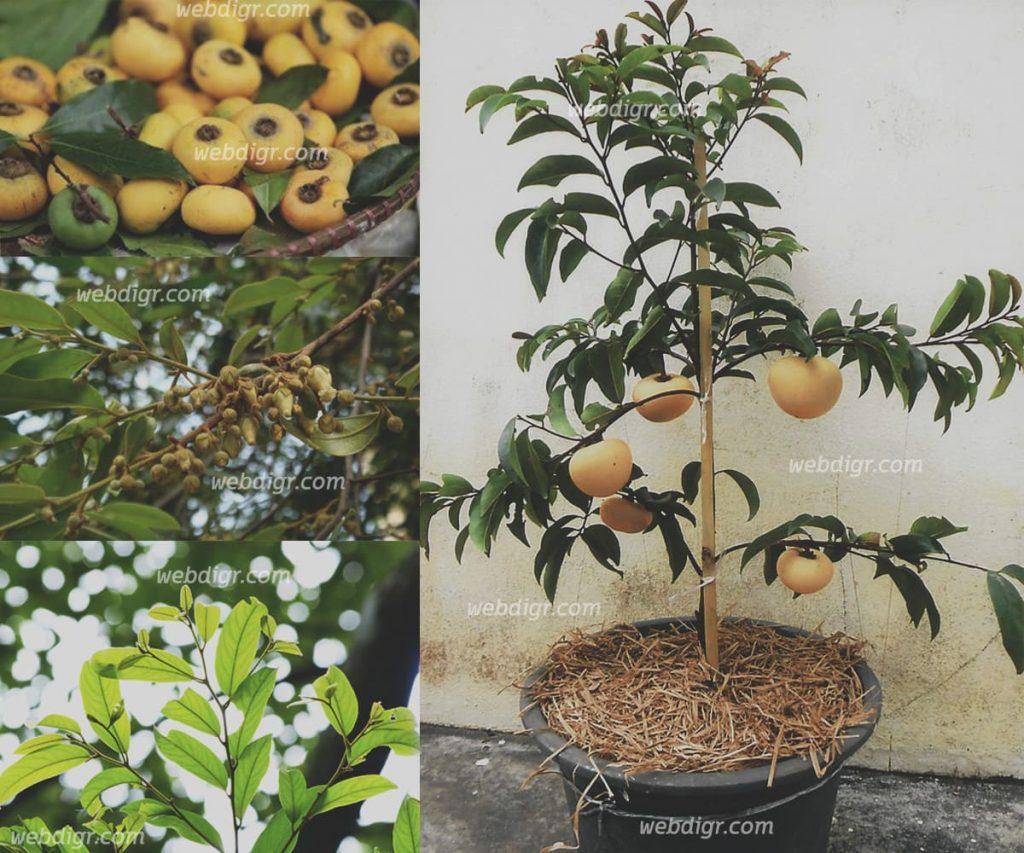 ต้นอินจันหรือต้นจัน5 1024x853 - ต้นอินจัน หรือต้นจัน ต้นไม้โบราณที่ปัจจุบันกำลังจะสูญพันธุ์ หาดูได้ยาก