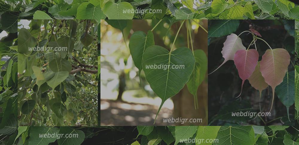 ต้นโพธิ์3 - ต้นโพธิ์ ต้นไม้มงคล ที่เป็นต้นไม้ที่พบเห็นได้ทั่วไปตามบริเวณวัด