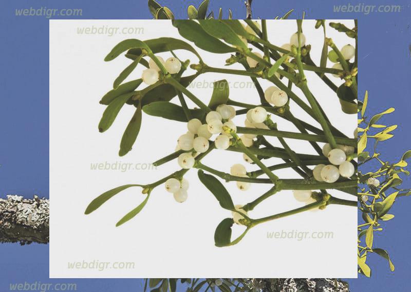 กระบองเพชรมิสเซิลโท - ต้นกระบองเพชรมิสเซิลโท พันธุ์ไม้โดดเด่น มีลักษณะที่สวยงามแปลกตา