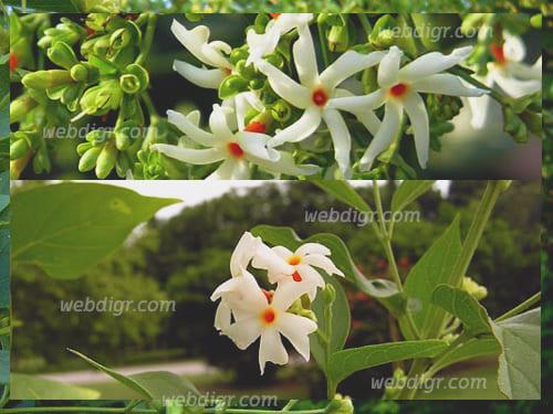ต้นกรรณิการ์2 - ต้นกรรณิการ์ ต้นไม้ดอกที่สวยงาม และโดดเด่น ลักษณะดอกเป็นกระจุกสีขาว