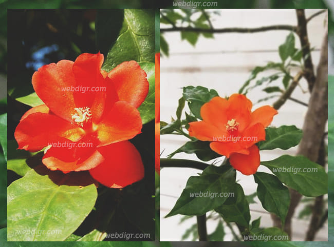 ต้นกุหลาบพุกาม - ต้นกุหลาบพุกาม พันธุ์ไม้ดอกไม้ประดับจากประเทศโคลอมเบีย โดดเด่นสวยงาม