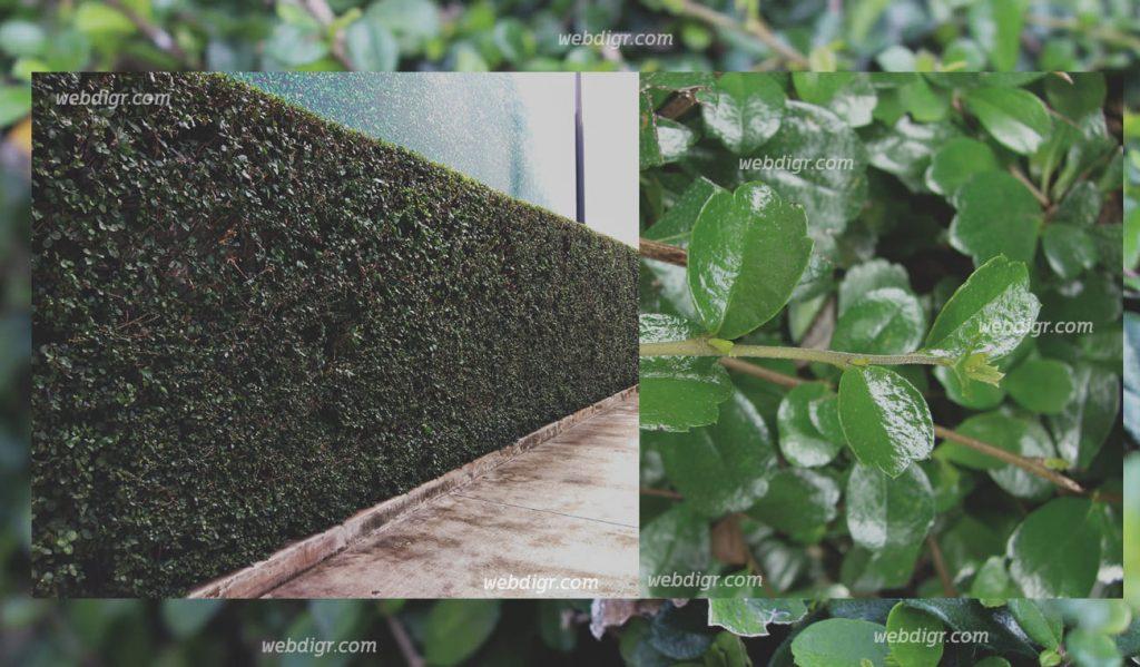 ต้นชาฮกเกี้ยน3 1024x599 - ต้นชาฮกเกี้ยน เป็นพรรณไม้ที่ถูกดัดให้เป็นรูปทรงได้