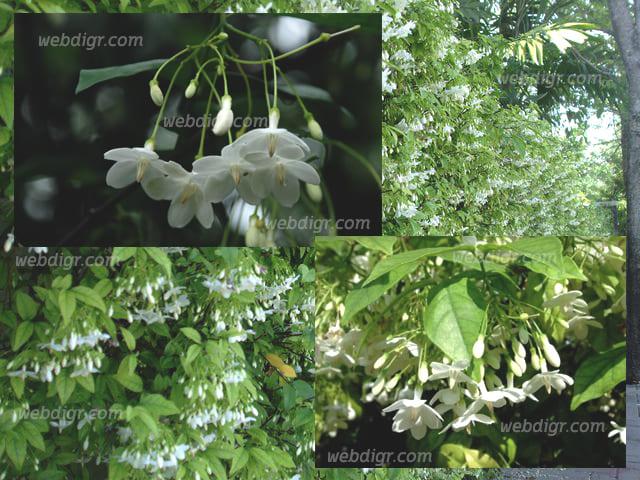 ต้นโมก2 - ต้นโมก พันธุ์ไม้ที่มีความสวยงาม สามารถให้ดอกได้ เป็นพันธุ์ไม้มงคล