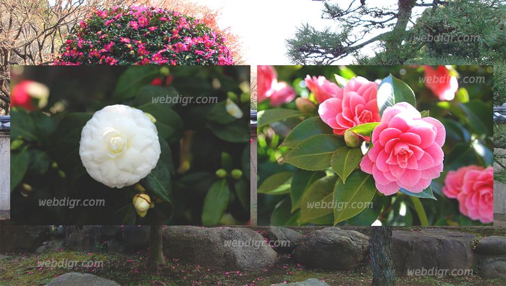 ต้นคาเมลเลีย4 - ต้นคาเมลเลีย ไม้ดอกชื่อดัง นิยมนำไปปลูกตกแต่งสวน เพิ่มความหรูหราให้สวน
