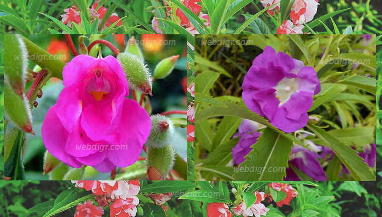 ต้นเทียนสวน - ต้นเทียนสวน พบกับต้นไม้ดอกที่มีอายุสั้น นิยมนำมาปลูกเพื่อจัดตกแต่งให้กับสวน
