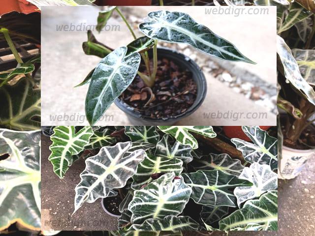 ต้นแก้วสารพัดนึก3 - ต้นแก้วสารพัดนึก พันธุ์ไม้ประดับ ที่อยู่ในตระกูลเดียวกันกับบอน