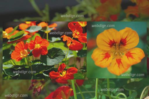 ต้นแนสเตอร์เตียม3 - ต้นแนสเตอร์เตียม พันธุ์ไม้ดอกไม้ประดับ นำมารับประทานเป็นผักสลัดได้